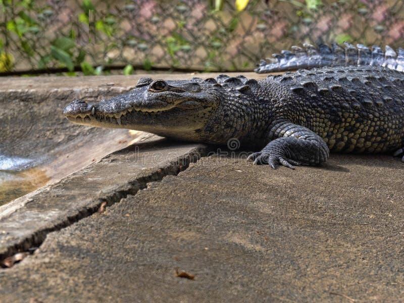 Le crocodile de Morelet, moreletii de Crocodylus, habite les rivières de forêt de l'Amérique Centrale, Guatemala photographie stock libre de droits