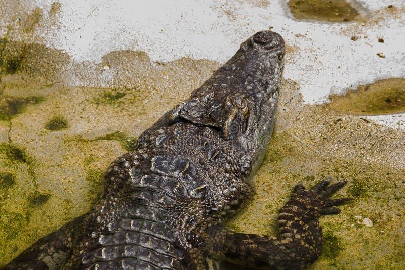 Le crocodile est dans l'eau images libres de droits