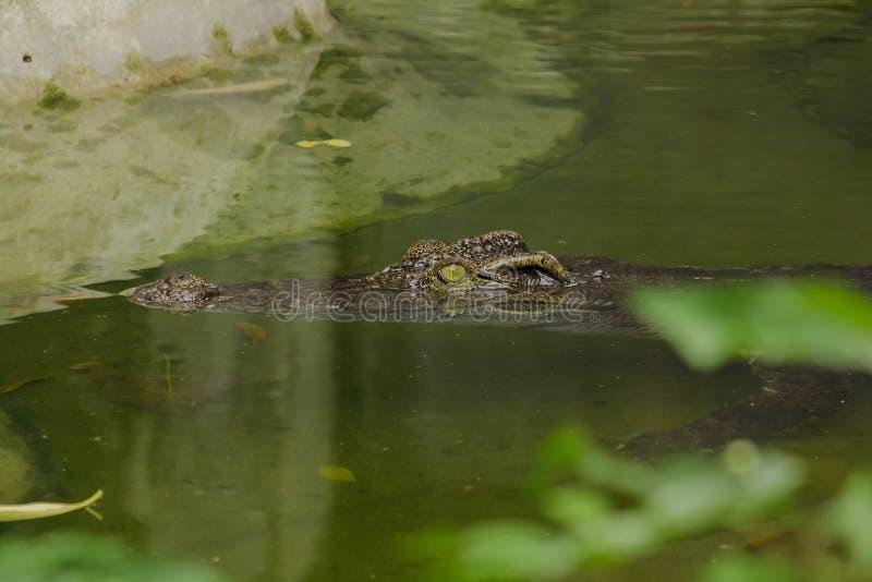 Le crocodile est dans l'eau photos stock