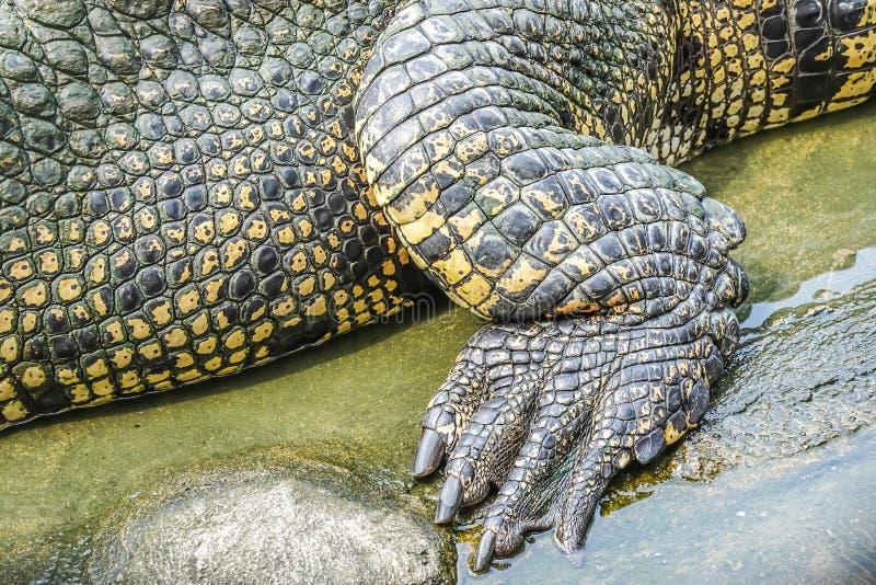 Le crocodile haut étroit de détails de la jambe et du pied arrière est fort et beau photo stock
