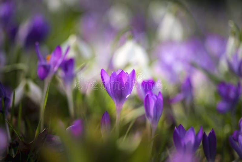 Le crocus vibrant renversant fleurit au printemps sur le plancher de forêt photos libres de droits