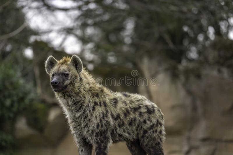 Le crocuta repéré de Crocuta d'hyène photo stock