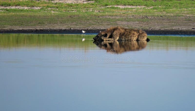 Le crocuta repéré de hyaena se situant dans l'eau à un point d'eau dans le Liuwa raffine le parc national, Zambie images stock