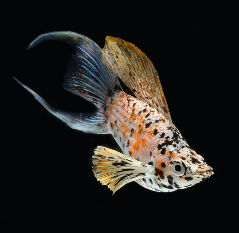 Le croissant de poissons d'aquarium populaire a suivi d'isolement sur le backg noir photo stock