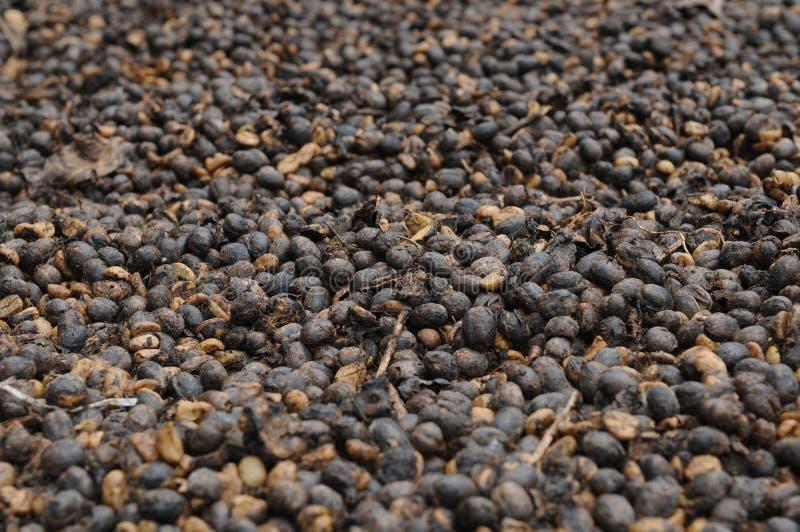 Le Cuba : Haricots cubains de séchage de coffe en parc national Altiplano Topes image libre de droits
