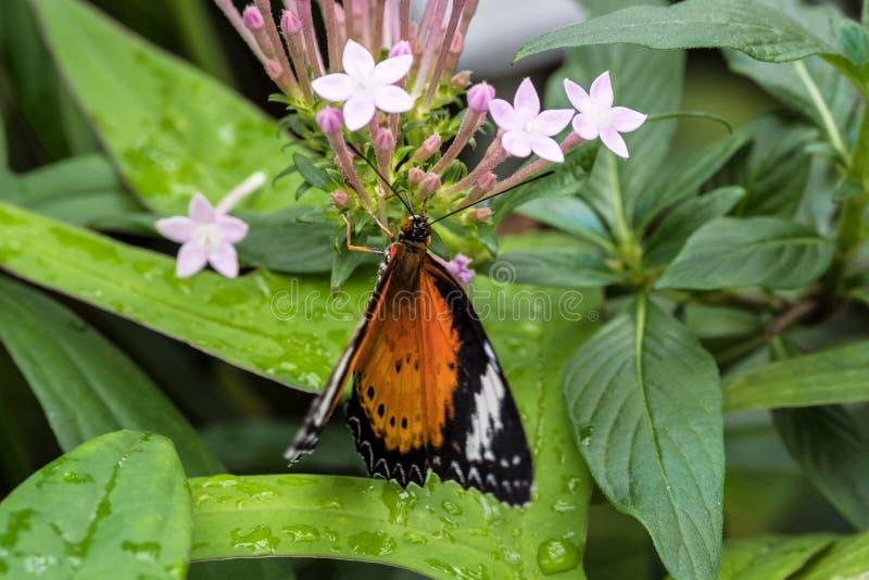Le cyane de Cethosia, le lacewing de l?opard, est des esp?ces de papillon de heliconiine photo stock