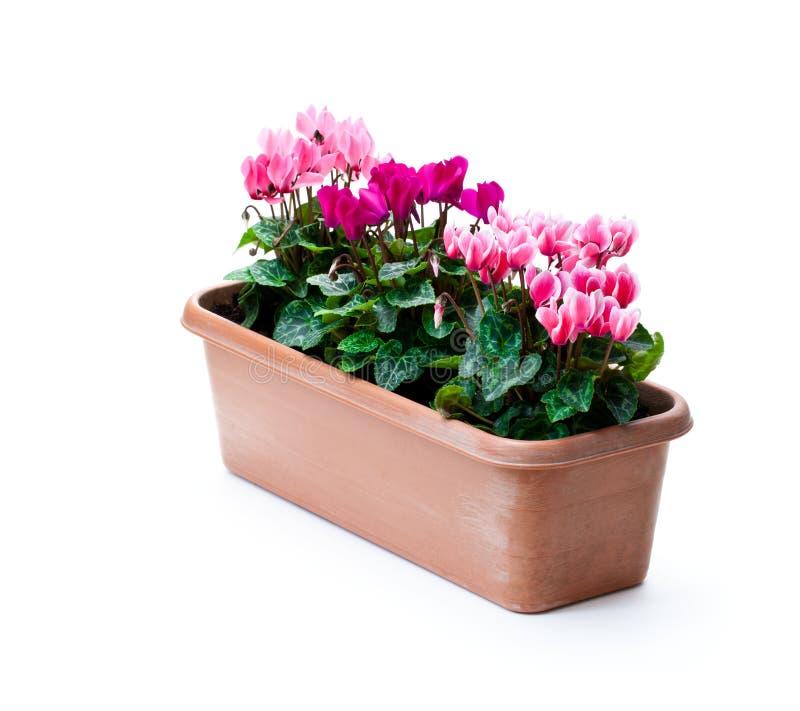 Le cyclamen coloré fleurit dans le pot rectangulaire d'isolement sur le blanc images stock