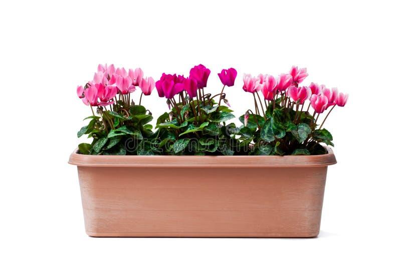 Le cyclamen coloré fleurit dans le pot rectangulaire d'isolement sur le blanc photo libre de droits