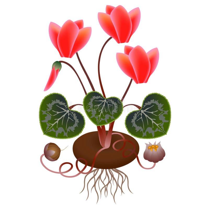 Le cyclamen plante avec des racines et des graines sur un fond blanc illustration libre de droits