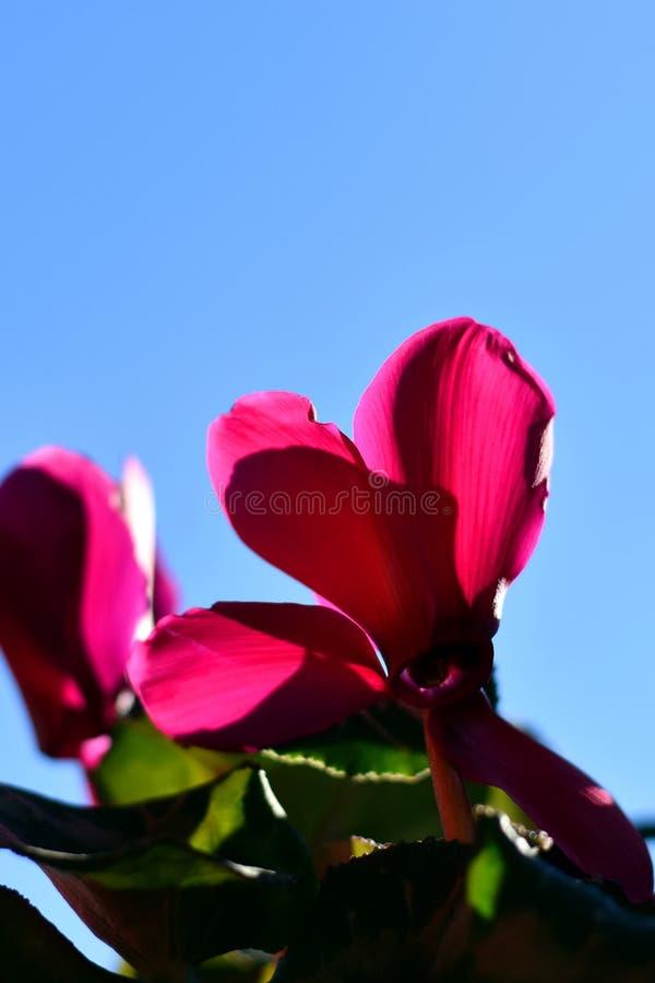 Le cyclamen rose fleurit sur le fond de ciel bleu images libres de droits