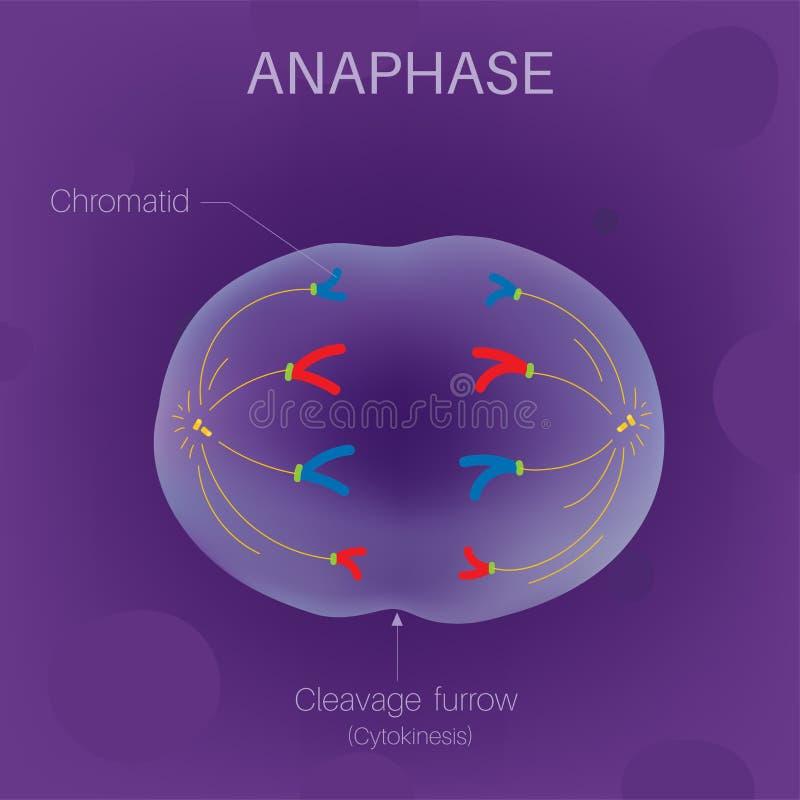 Le cycle cellulaire - Anaphase illustration libre de droits