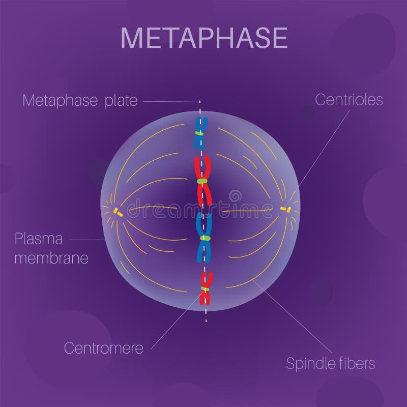 Le cycle cellulaire - métaphase illustration de vecteur