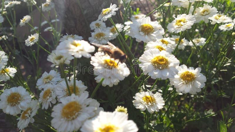 Le cycle de la pollinisation images libres de droits