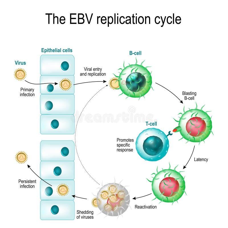 Le cycle de reproduction de virus d'Epstein-Barr illustration stock