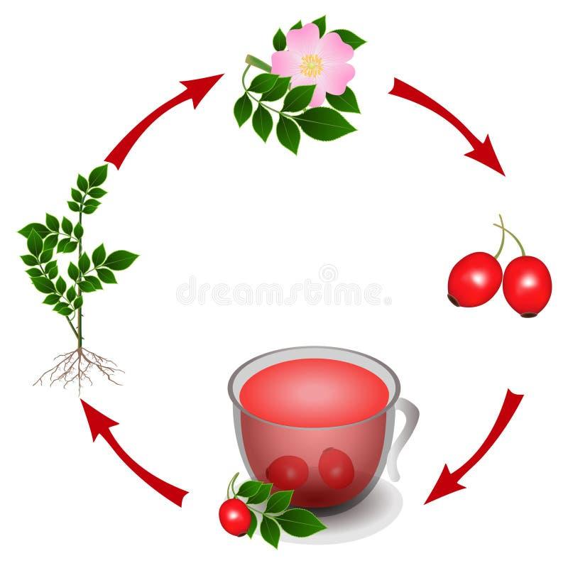 Le cycle des cynorrhodons d'usine dans une tasse de thé des baies illustration stock