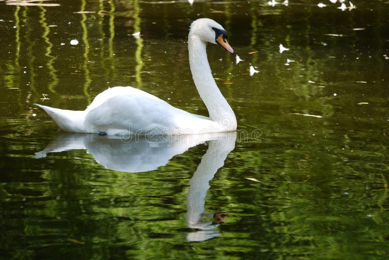 Le cygne blanc magnifique tord avec élégance son cou flottant sur la surface de l'eau du lac admirant sa réflexion image stock