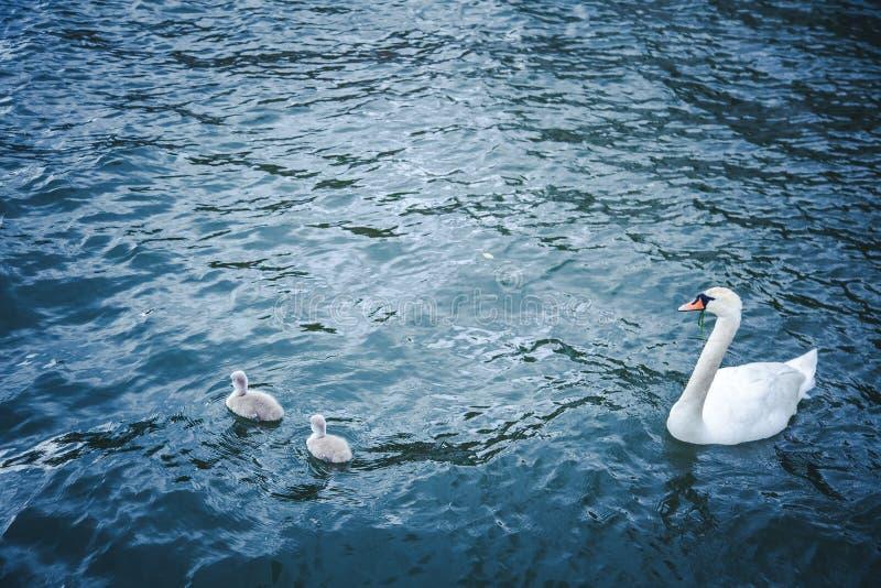Le cygne blanc nage dans l'eau avec son nid de deux poussins photographie stock libre de droits