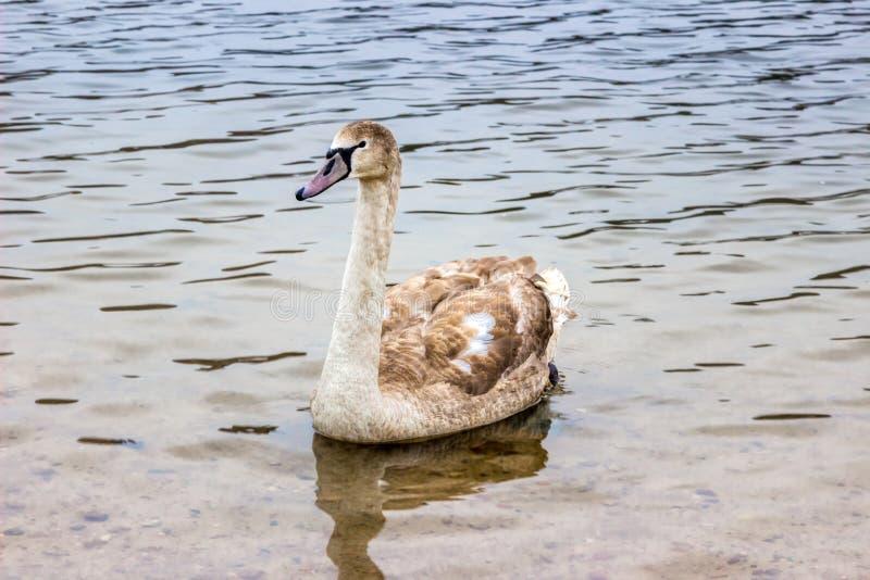 Le cygne de Whooper nage sur le rivage du réservoir au Belarus Minsk, la mer de Minsk photo stock