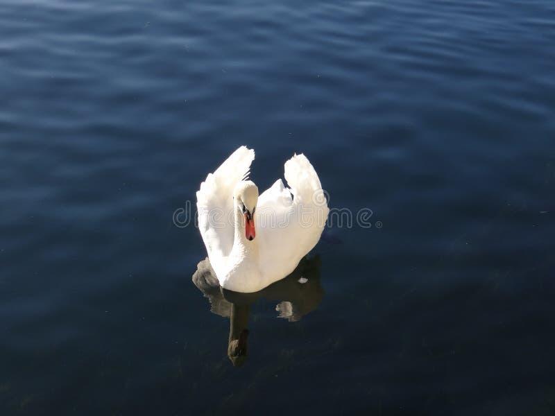 Download Le Cygne Majestueux Semble Adorer Dans Les Réflexions De L'eau Calme Du Lac Photo stock - Image du animal, zone: 87702792