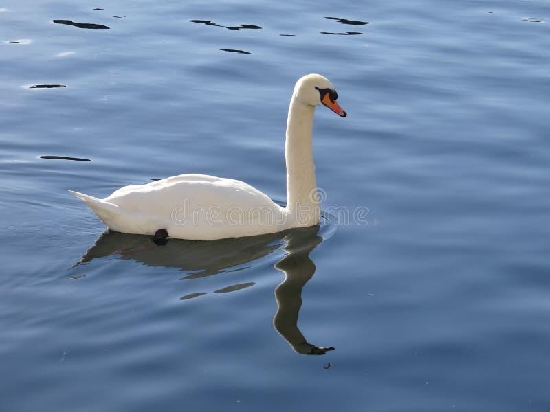 Download Le Cygne Majestueux Semble Adorer Dans Les Réflexions De L'eau Calme Du Lac Photo stock - Image du vert, intelligent: 87703132