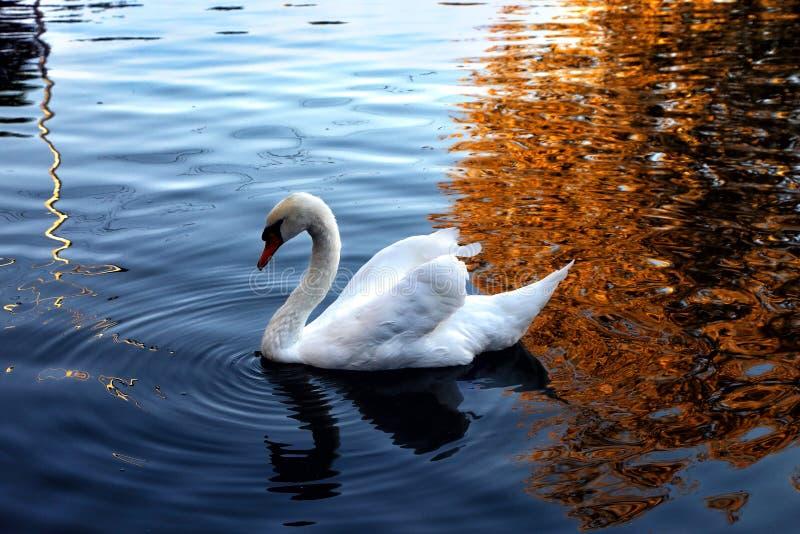 Le cygne nage dans l'étang photos stock