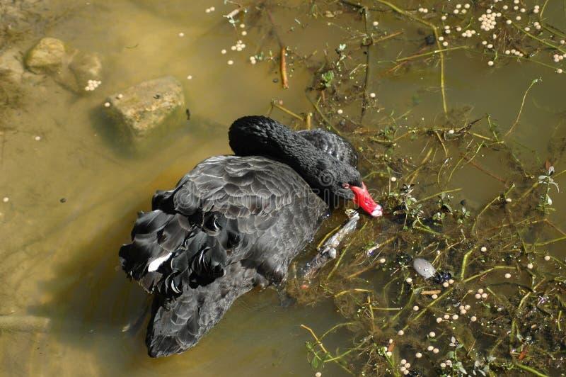 Le cygne noir au zoo de Séco image libre de droits