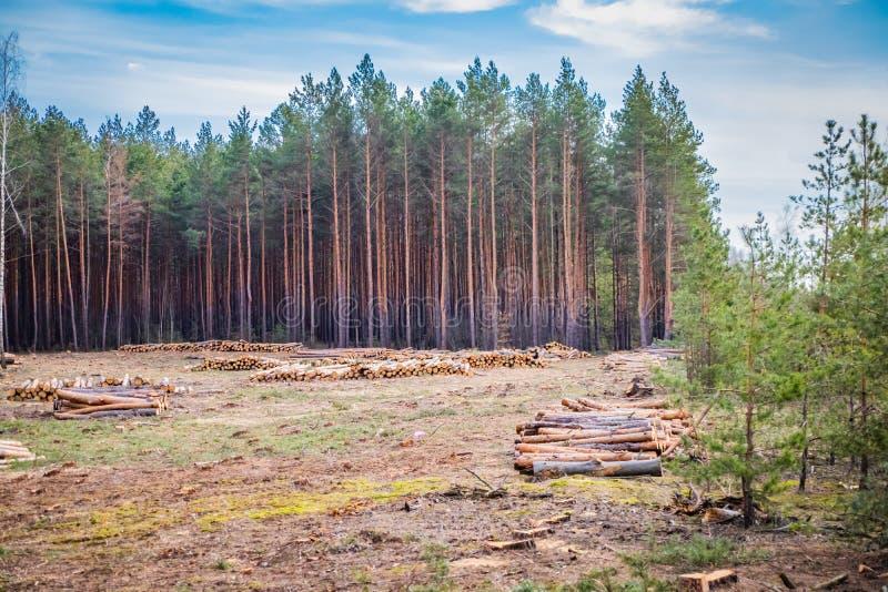 Le déboisement prévu industriel au printemps, pin vert frais se trouve au sol parmi des tronçons photographie stock libre de droits