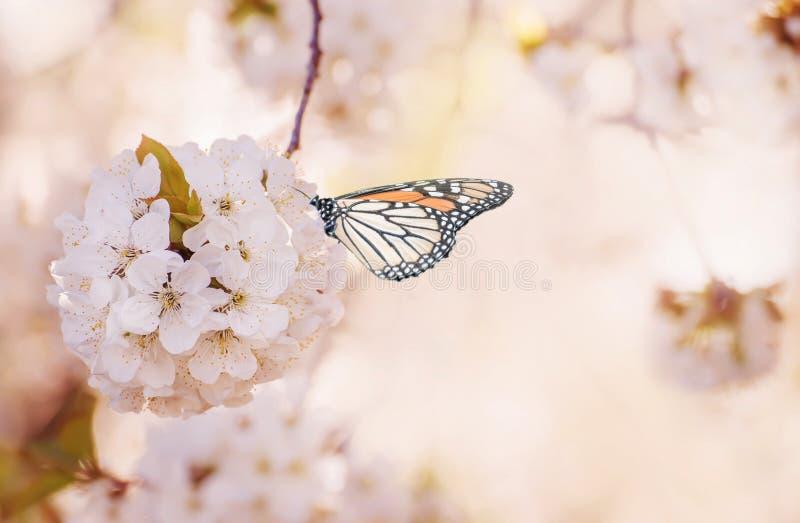 Le début de fleurir le cerisier et le papillon doux Photo magique Photo artistique Foyer mou sélectif images stock