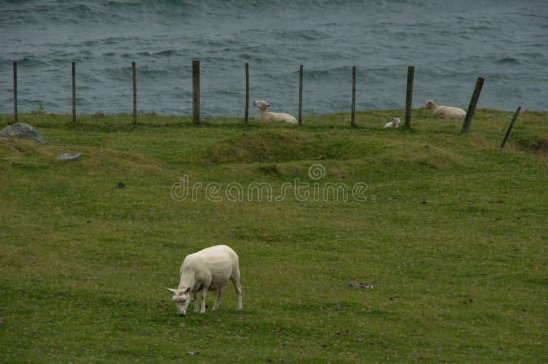 Le déjeuner du mouton photo stock