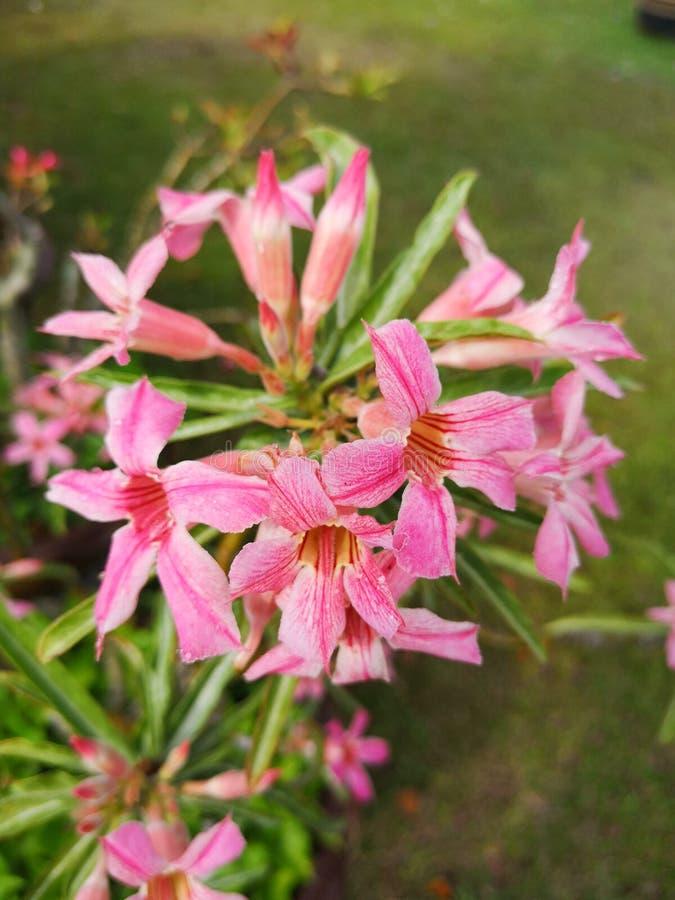 Le désert s'est levé, fausse azalée, Pinkbignonia, ‹de lily†d'impala photo stock