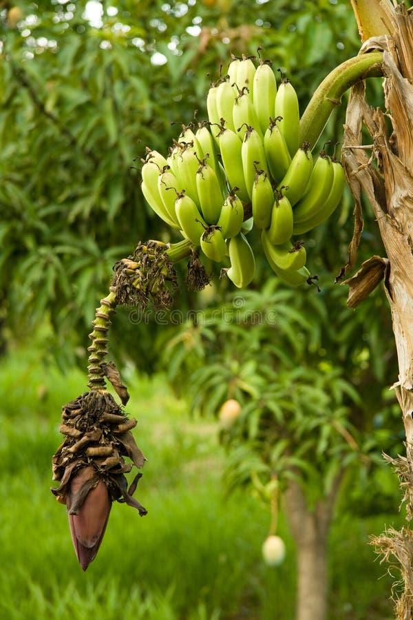 Détail d'un bananier image stock