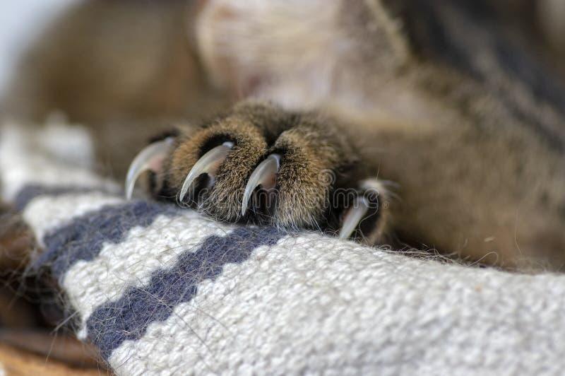 Le détail de la patte de marbre de chats avec les griffes maintenues, préparent pour le combat photo libre de droits