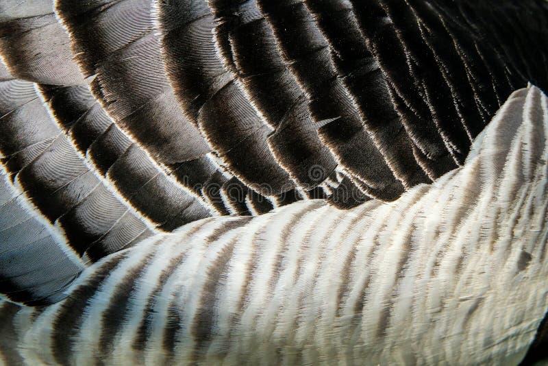 Le d?tail des plumes d'une oie canadienne photos libres de droits