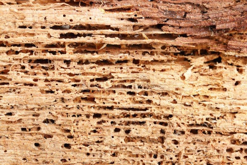 Le détail du bois de sapin a endommagé par le champignon et les insectes photo stock
