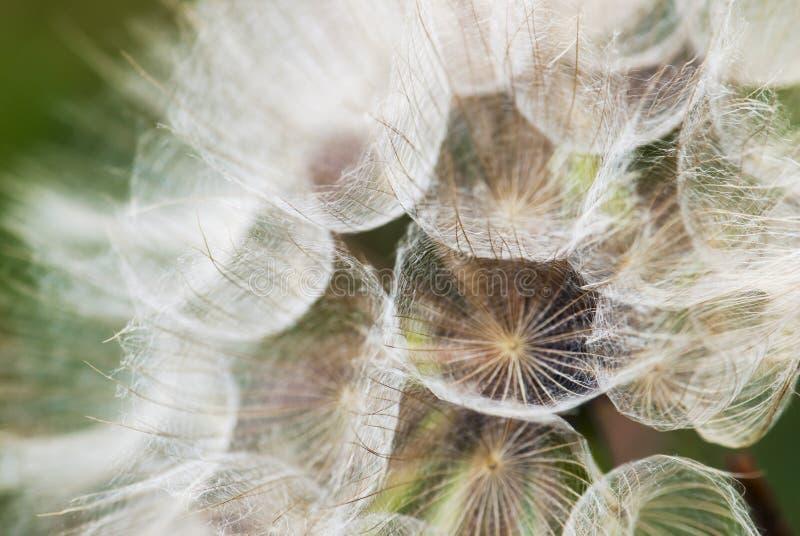 Pissenlit avec des graines photo stock