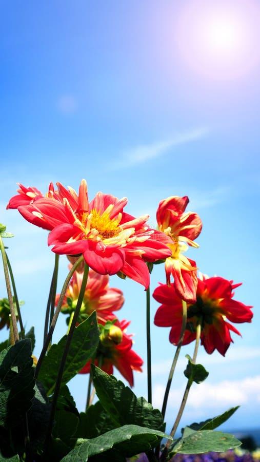 Le dahlia fleurit dans la fin ou les macro images image libre de droits