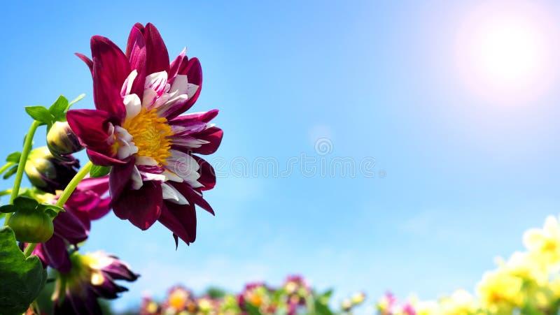 Le dahlia fleurit dans la fin ou les macro images photographie stock libre de droits