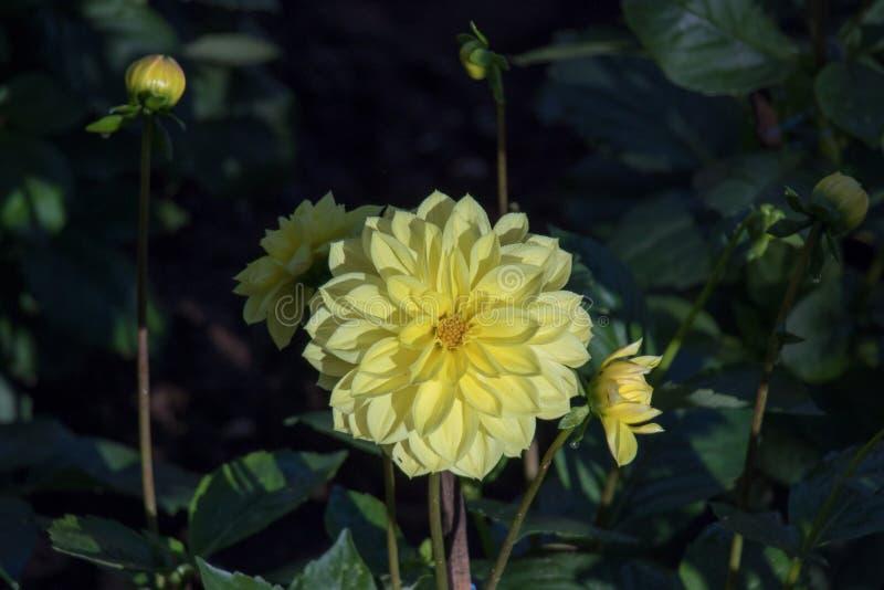 Le dahlia jaune fleurit dans le temps froid, arborétum image stock