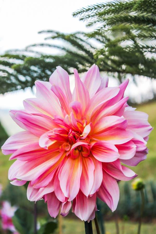Le dahlia rose en fleur d'automne dans le jardin botanique avec les feuilles vertes est fond photographie stock