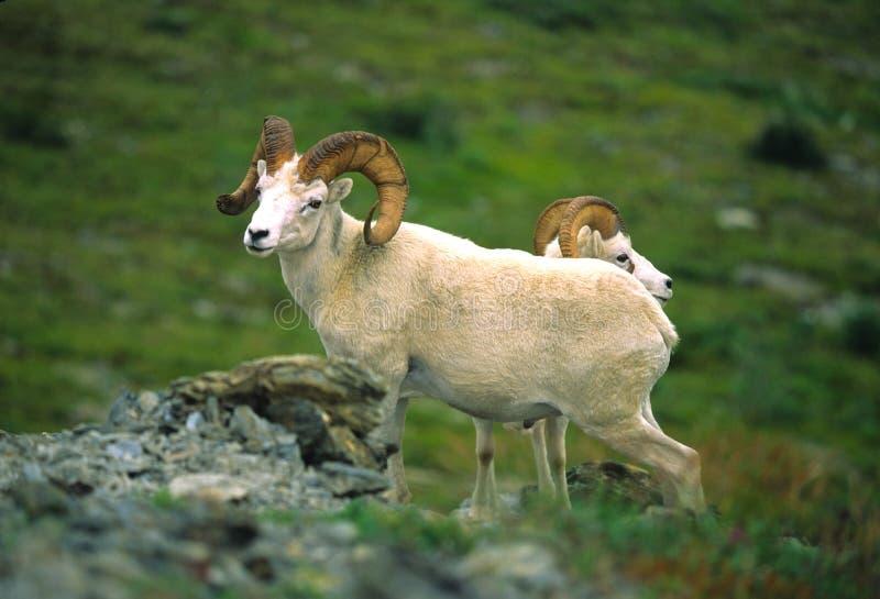 le dall enfonce des moutons photographie stock