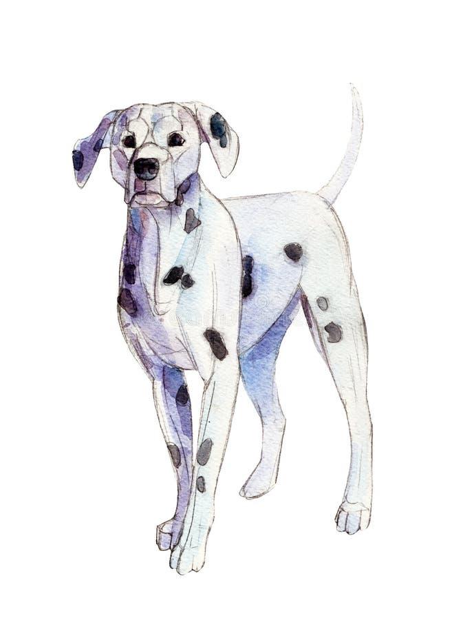 Le Dalmate d'aquarelle d'isolement sur le fond blanc, illustration illustration stock