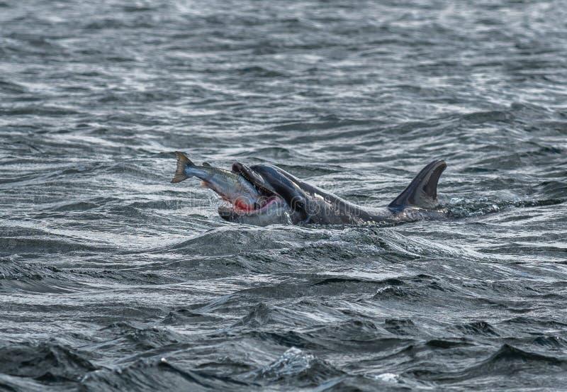 Le dauphin de Bottlenose avale Salmon At The Moray Firth sauvage et ensanglanté de Catched près d'Inverness en Ecosse photographie stock libre de droits