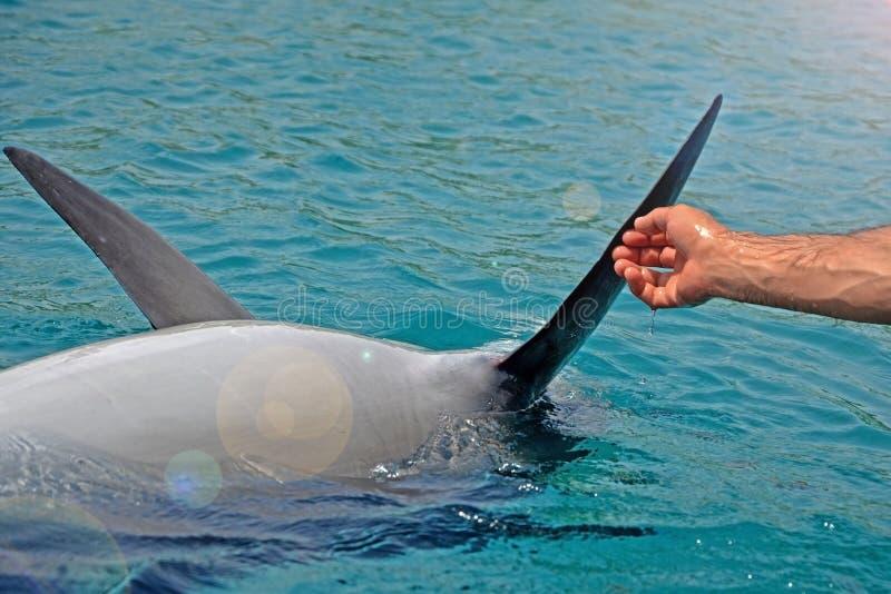 Le dauphin de sourire sauvé tient ses nageoires avec les mains humaines Projet de recherche de conservation de dauphin de mer dan photos stock