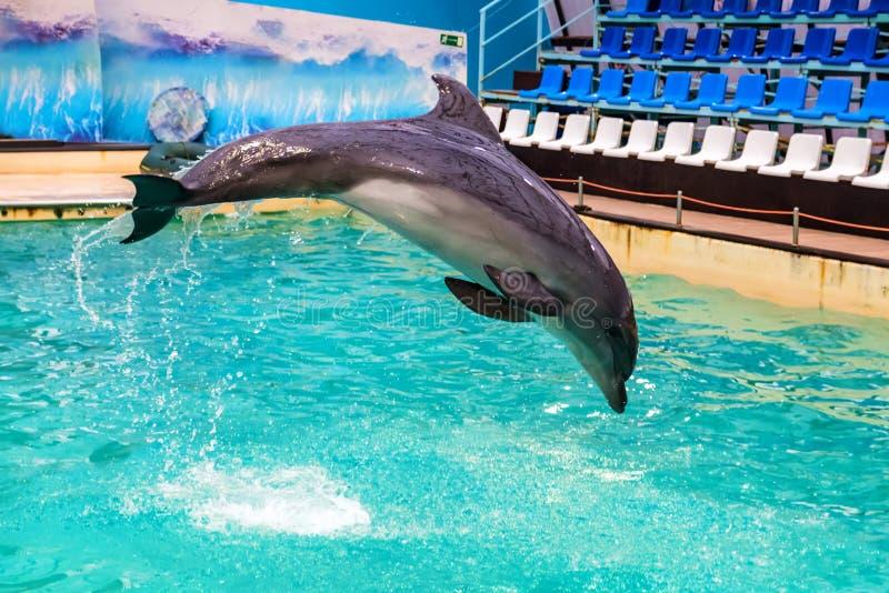 Le dauphin mignon saute dans la piscine dans le dolphinarium photos stock