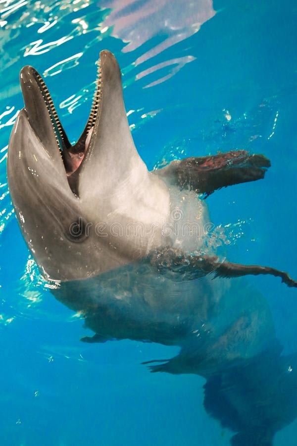 Le dauphin s'est penché hors de l'eau et a ouvert sa bouche photo stock