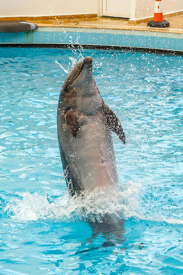 Le dauphin sautant par un cercle photos stock