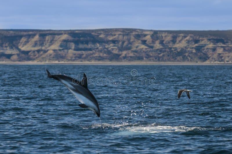 Le dauphin sautent image stock