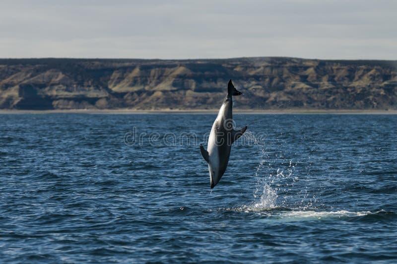 Le dauphin sautent photos libres de droits