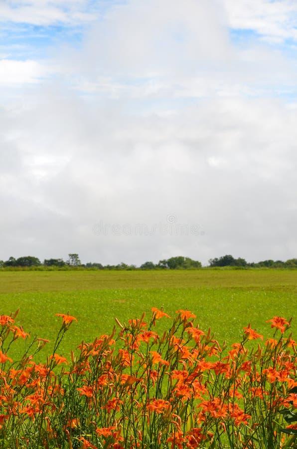 Le Daylily orange fleurit la frontière un champ de culture photo libre de droits