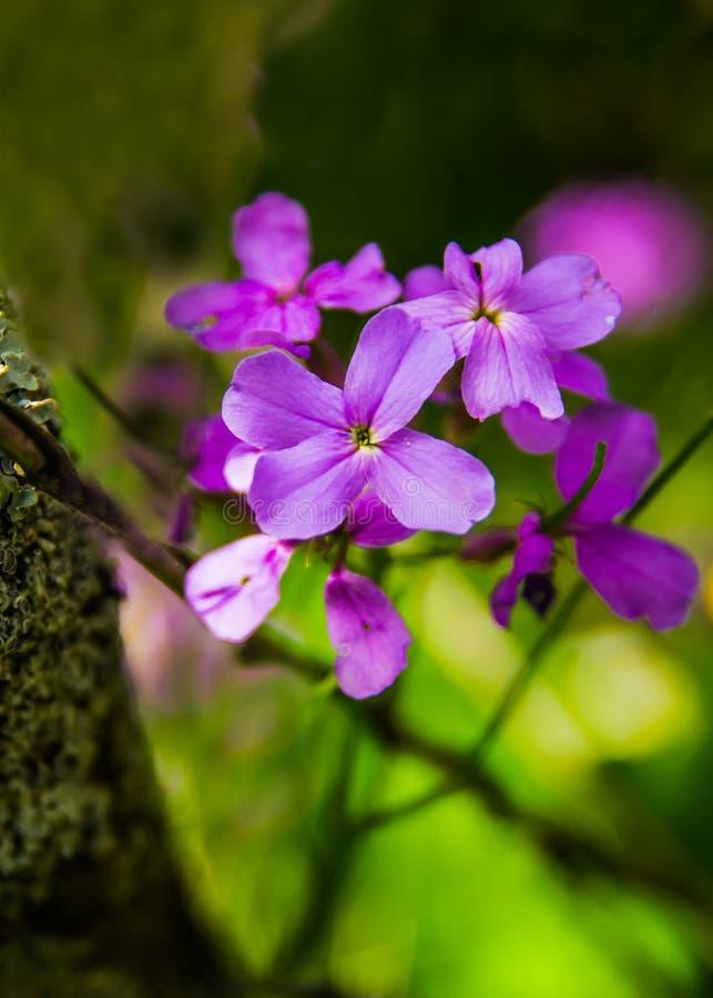 Le ` de floraison s de dame montent en flèche les matronalis L de Hesperis photos libres de droits